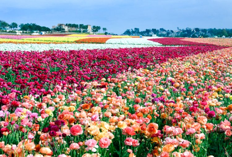 Carlsbad Flower Fields - San Diego Instagram Spots
