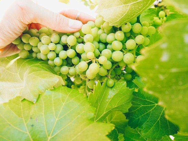 Wine Grapes - Wine Tasting Vindemia Vineyard and Winery